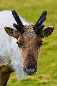 **Reindeer in Edinburgh Zoo in Scotland*** Boy! That would be GREAT! to Visit!