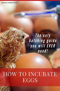 Cute Chickens, Backyard Chickens, Raising Chickens, Fresh Chicken, Chicken Eggs, Chicken Story, Storing Eggs, Hatching Chickens, Chicken Pictures