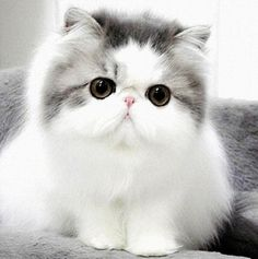We present to you TOP 30 Cute Cats and Cute Kittens picture gallery. I love cute cats too. I think you like little kittens too. Cats and little kittens are one Cute Kittens, Cats And Kittens, Cats Meowing, Ragdoll Cats, Sphynx Cat, Siamese Cats, Pretty Cats, Beautiful Cats, Animals Beautiful