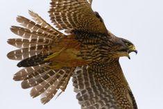 New Zealand falcon Falcon Tattoo, Hawk Tattoo, New Zealand Tattoo, Birds Online, Tattoo Designs, Marquesan Tattoos, Kestrel, Sea Birds, Birds Of Prey