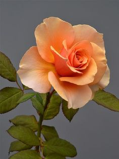 beautiful orange rose:
