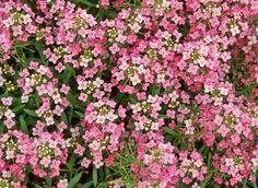 Semis de l'alysse odorant Horticulture, Rose Quartz, Alysse, Green, Flowers, Plants, Color, Bonnet Rose, Pantone 2016