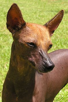 102 Best Xoloitzcuintli Images Mexican Hairless Dog Dogs