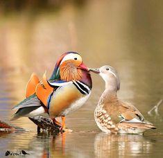 ✨Congratulations on your NAB shout out! Tropical Birds, Exotic Birds, Colorful Birds, Canard Mandarin, Mandarin Duck, Pretty Birds, Beautiful Birds, Animals Beautiful, Duck Pictures
