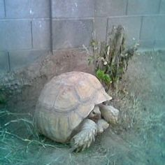 Article: Building An Outdoor Habitat For A Sulcata Tortoise. DId you know: Ants can kill a young tortoise! Tortoise Habitat, Tortoise Care, Giant Tortoise, Tortoise Food, Tortoise Enclosure, Sulcata Tortoise, Russian Tortoise, Reptiles And Amphibians, Tortoises
