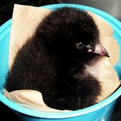 #throwbackthursday In 2011, the Aquarium family welcomed TWO puffin chicks! Here's one of our chicks, Violet, being weighed at only 8 days old!