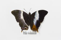 The Violet-banded Palla Butterfly, Palla violinitns, photograph by:  Darrell Gulin