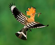 Eurasian Hoopoe (Upupa epops) flying with a larva in its bill, Biebrza, Poland