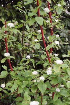 Cornus alba 'Sibirica' - from greenhill Fall Flowers, White Flowers, Landscape Design, Garden Design, Sloped Garden, Plant Identification, Night Garden, Lavandula, Garden Borders