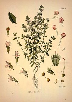 Thyme -  botanical plant illustration - Royalty free from plantcurator.com