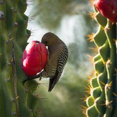 Gila Woodpecker Desert Botanical Garden Phoenix Arizona