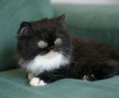 Bicolor persian Kitten...my new baby :)