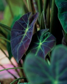 The Elephant Ear Illustris, 'Colocasia Illustris', looks great in a container or in your shade garden. The large beautiful leaves will add diversity and drama to any landscape, large container or patio. The Illustris looks Tropical Garden, Tropical Plants, Asian Plants, Purple Plants, Shade Garden, Garden Plants, Garden Pond, Water Garden, Pond Plants