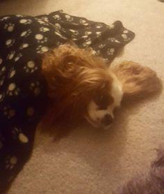 Arrrrrrr where's my body!!#cav #cavs #cavalierkingcharlesspaniel #cavalier #cavlife #cavalierkingcharles #cavaliersofinstagram #cavalierkingdom #dog #dogsofinstagram #dogs #lovedogs #instadog #ilovemydog #dogoftheday #ilovemydog #dogstagram #puppy #pup #puppies #puppiesofinstagram #puppylove #instapup #instapup #puppypalace #lovepuppies #love #jumper #doseofpuppy @doseofpuppy #postyourpooch
