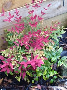 Nandina .. Thriving now .. Planted last November .. Love the red foliage !