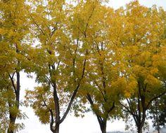 Four Golden Trees