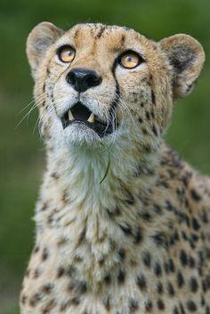Male cheetah looking upwards
