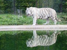 """O tigre branco """"Ankur"""". 2 In, Trip Advisor, Attraction, 98, Animals, Portugal, Articles, Porto, Park"""