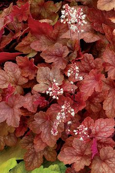 "The most ""natural-looking"" garden beds usually have at least one plant whose habit is to wend itself between the others. Ruby-colored Redstone Falls heucherella, the first ground cover variety of this stalwart shade lover, is vigorous, fast-spreading, unfussy, and changes colors with the seasons. Partial shade to full sun in cool summer areas. Grows up to 10 inches tall and 3 feet wide. Zones 4–9; Monrovia"