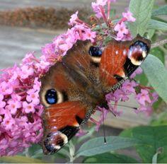 Buddleja with butterfly