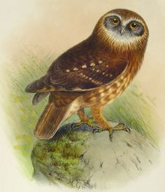 Owl from Free Vintage Bird Pictures