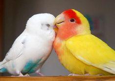 parakeet and lovebird <3