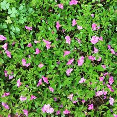 #groundcover #petunia #calibrachoa perennial ground cover that works #flowergarden