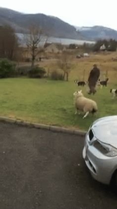 овечка присоединяется к общему веселью