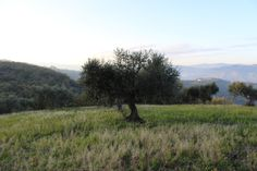 Adopt an olive tree from our Wild Bird Retreat grove for £34.99 plus delivery and receive your very own cold-pressed extra virgin olive oil! #TerraAdopt #adoptanolivetree