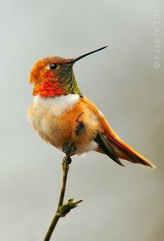 Rufous hummingbird (salasphorus rufus)~
