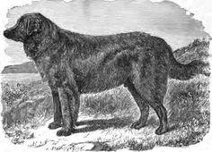 Leo Newfoundland 1880