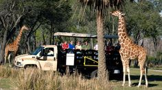 Wanyama Safari at the DAK Park - A giraffe feeding from a trees during the Wanyama Safari while excited Guests watch along in wonder. l Adventure Beckons - Explore the spectacular savanna at Disney's Animal Kingdom Lodge—home to rare and fascinating wildlife. A 90-minutes daily tour and dinner afterwards at Jiko-The Cooking Place. l I am planning for this adnventure too! #WDW2017