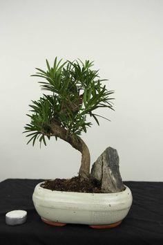 Bonsai Buddhist Pine, Podocarpus Podocarpus Bonsai, Terraria Tips, Mame Bonsai, Plantas Bonsai, Miniature Trees, Bonsai Trees, Growing Tree, Terrariums, Ikebana