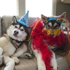 These two are ready to ring in the new year  #nye #2017 #newyear #party #partyanimals #husky #ilovemypet #puppylove #huskypics #huskiesofinstagram #huskies #huskylove #doglover #dogs #petstagram #dog #puppies #woof #bestfriends #love