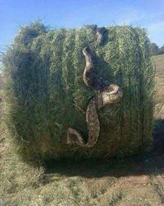 In Texas, you just never know what might turn up in a bale of hay!! Haha