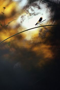 Credit: Constant Couteille/GDT Other Animals category, highly commended: Calopteryx Surrounded by Colours by Constant Couteille