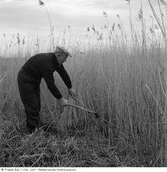 Riet snijden, Vollenhove (1952-1963) #KopOverijssel