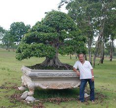 Giant Ficus Photo: Robert Steven
