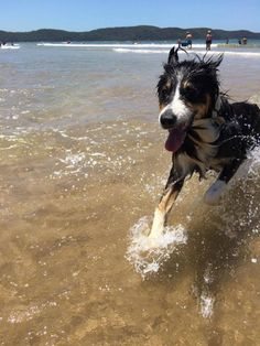 tom darley, maggie the dog, water, beach, dog friendly walks Blue Mountain, Dog Friends, Walks, Make Me Smile, Best Dogs, Sydney, National Parks, Explore, Beach