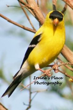 American Goldfinch. Photo by Rachael Irvine, Irvine's Place Photography