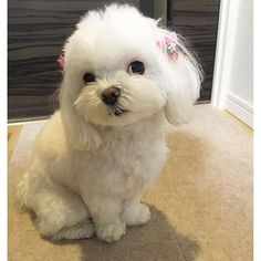 Image result for Maltese dog faces with their mouth