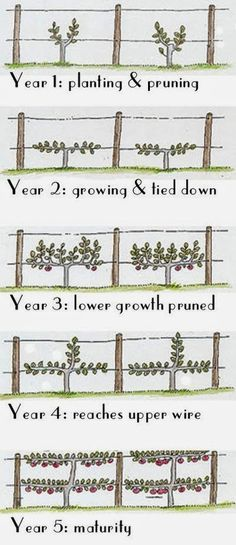 Five years to a low double cordon fence using espalier technique.