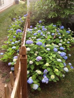 Hydrangea The Secret to Success. I need this secret! :-)
