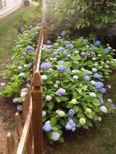 Hydrangea The Secret to Success