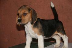 beagles are adorable