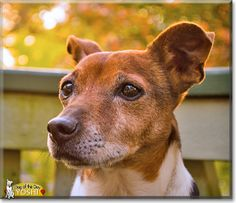 Read Yoshi's story the Jack Russell Terrier from Arlington, Virginia and see his photos at Dog of the Day http://DogoftheDay.com/archive/2013/November/26.html .