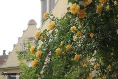 Rosen in der Altstadt von Lindau Social Media Marketing, Painting, Old Town, Painting Art, Paintings, Painted Canvas, Drawings