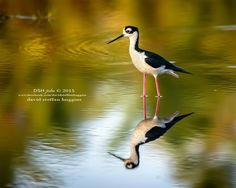 The Black-necked Stilt, the first thing I saw on my arrival at this spot.. — with David Steffan Huggins, Dsh Jicho, Yvonne Huggins and Rae Huggins at Icacos Village, Cedros.