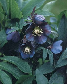 2005 PERENNIAL PLANT of the YEAR. This Lenten Rose is part of the Lady Series from Gisela Schmiemann of Cologne, Germany and is an easy spring blooming perennial for the shady woodland garden. Black Flowers, Beautiful Flowers, Wild Flowers, Black Roses, Winter Flowers, Exotic Flowers, Shade Garden, Garden Plants, Witch's Garden