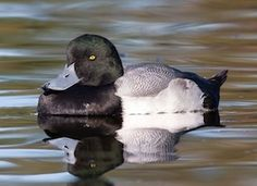 The Greater Scaup is found primarily along the seacoast and on large bodies of water. Unlike its look-alike relative the Lesser Scaup, the Greater Scaup is found across Eurasia as well as North America